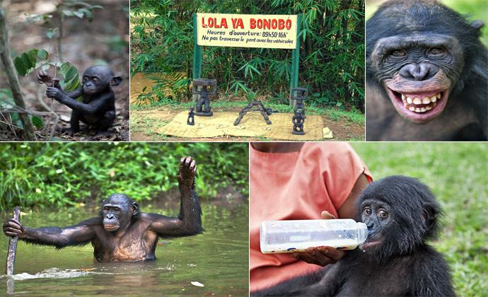 Заповедник обезьян бонобо ( 43 фото )