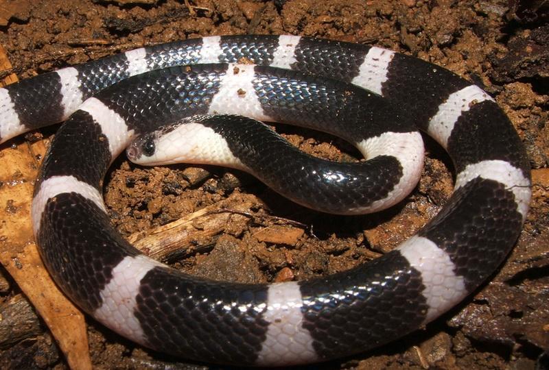 Очень агрессивная змея при укусе в 50