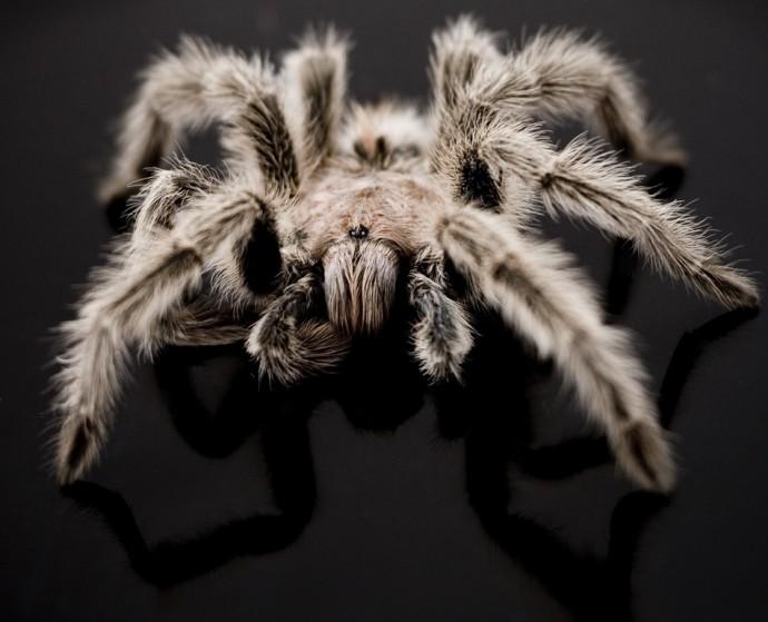 Самые большие пауки