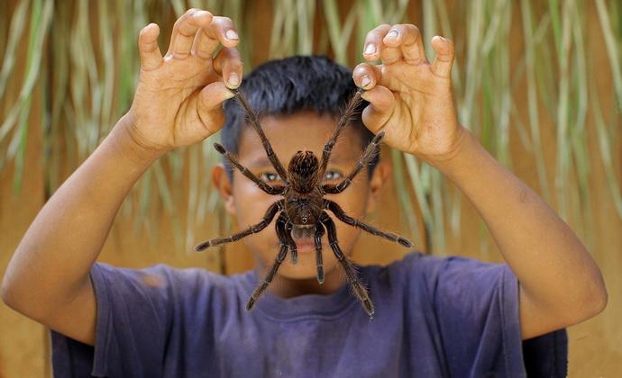 картинки самый большой в мире паук