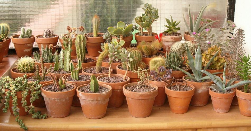 Стенокактус выращивание и уход фото 18