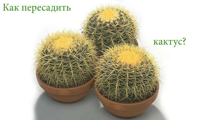 пересадка кактусов фото