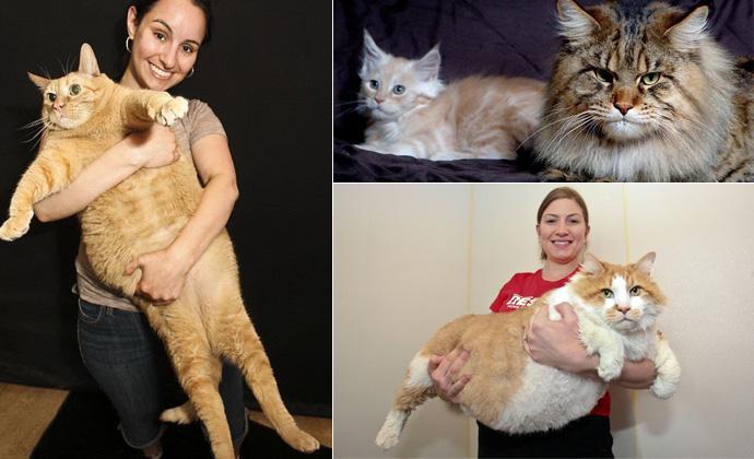 список самых толстых котов