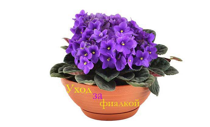 Виды комнатного растения цикламен (персидский, европейский) 621