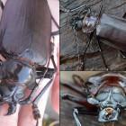 Самый большой жук в мире (12 фото)
