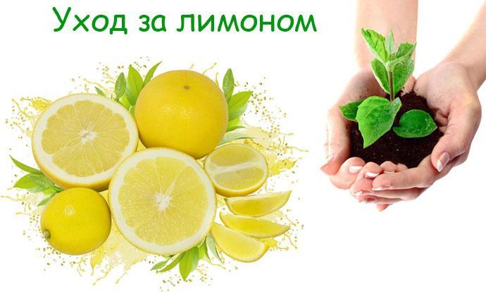 Уход за растением лимоном в домашних условиях