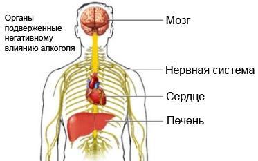 органы подверженные негативному влиянию алкоголя