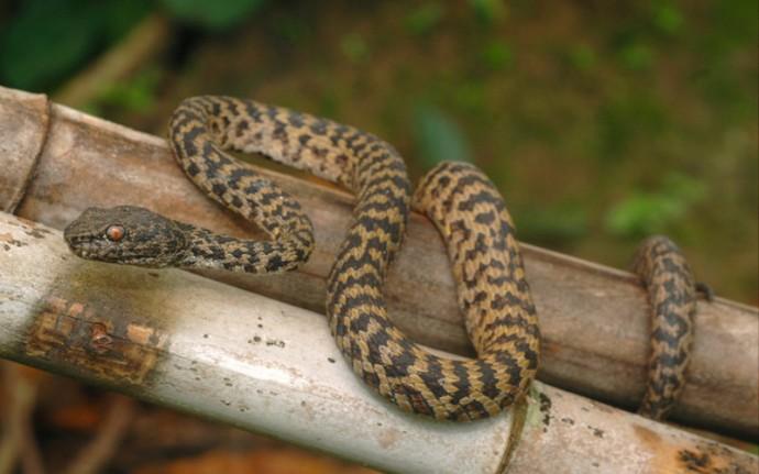 Тигровая змея - самая ядовитая змея в мире